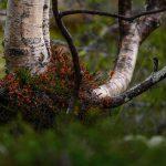 Birch tree, Rondane Nationalpark, Norway2017 – Landscape Photography