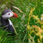 Puffin, Runde island, Norway – Landscape Photography